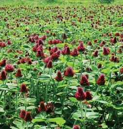 David's Garden Seeds Cover Crop Clover Crimson D9823WQ  Orga