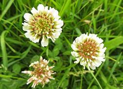 Dutch White Clover Nitro Coated Inoculated Seed by Seed King