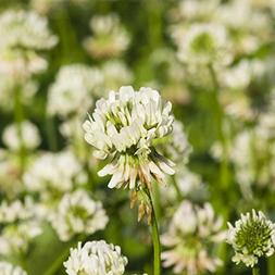 White Dutch Clover Seeds - 1 Lb - Lawn, Pasture & Cover Crop